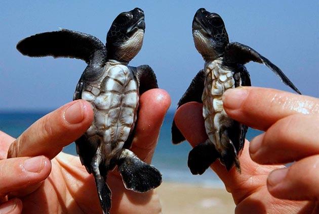 Детеныши головастых черепах рождаются одновременно в отложенной кладке яиц