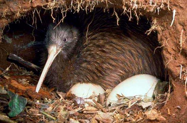 Самка киви откладывает одно или два яйца в заранее подготовленной норки