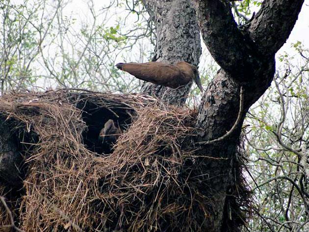Прежде чем оставить потомство молотоглавы строят жилище