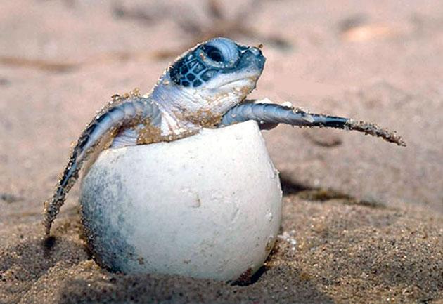 Детеныши оливковой черепахи появляются на свет после 1.5 месячного инкубационного периода