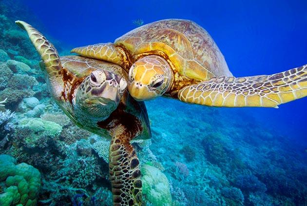 Зеленые черепахи способны продолжить свой род после десяти лет