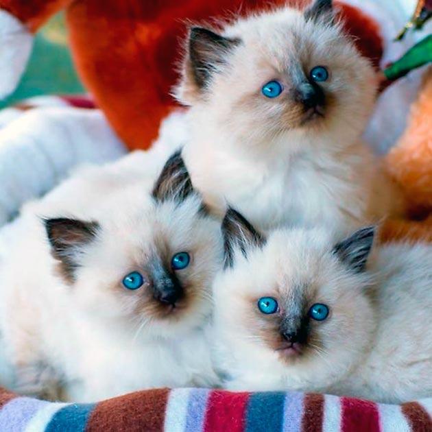 Породы кошек с голубыми глазами - Рэгдоллы