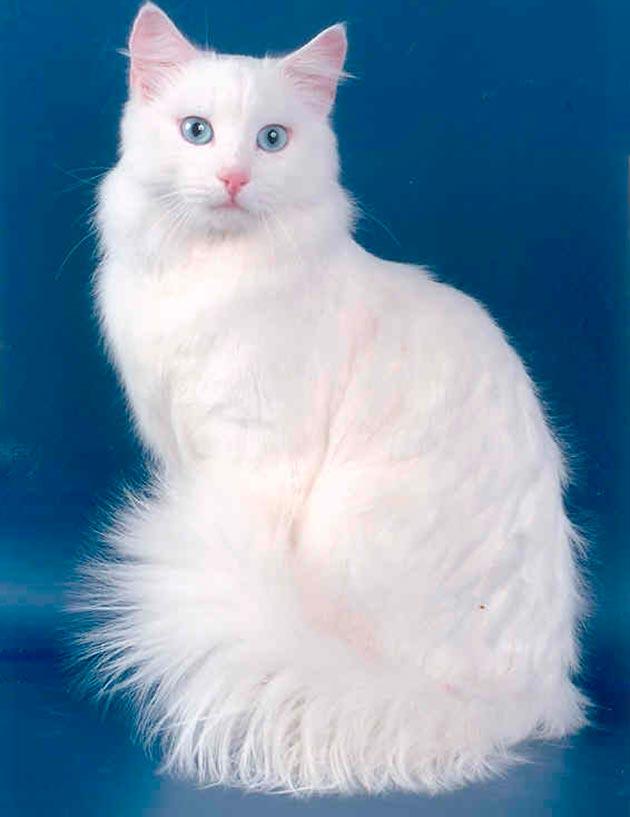 Породы кошек с голубыми глазами - Русская белая