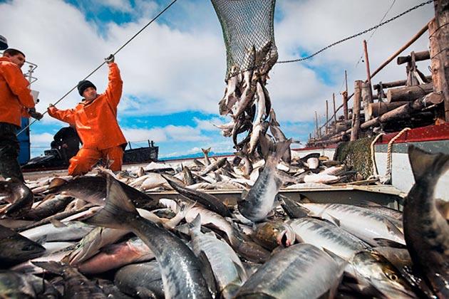Промысловое значение рыбы кета очень важно, рыбу добывают в широких масштабах