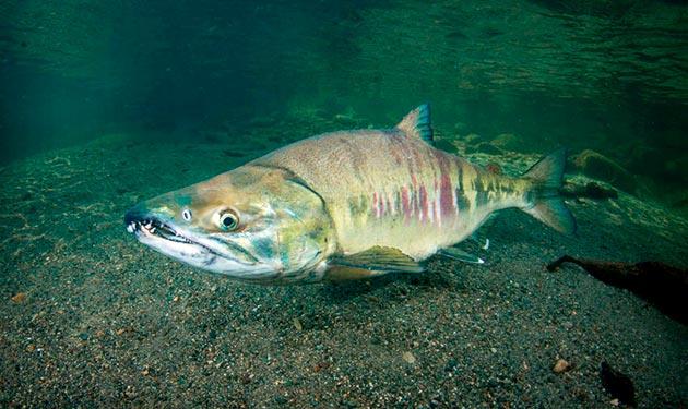Кета питается ракообразными, моллюсками и изредка мелкой рыбой