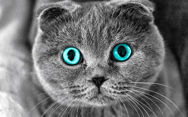 Породы кошек с голубыми глазами - Шотландские вислоухие