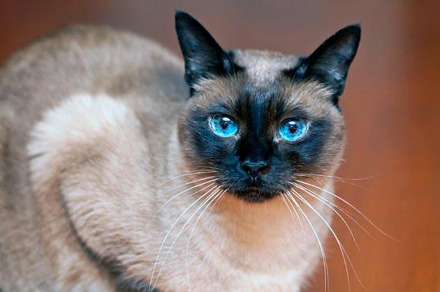 Кошки с голубыми глазами - Сиамские кошки