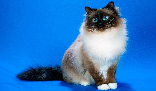 Кошки с голубыми глазами - Священная Бирма