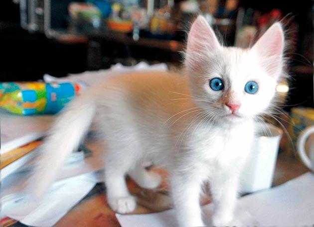Породы кошек с голубыми глазами - Турецкая ангорка