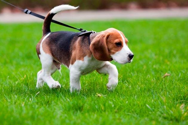 Главным правилом выгула щенка в городе является то, что бы научить его выполнять элементарные команды и слушаться вас