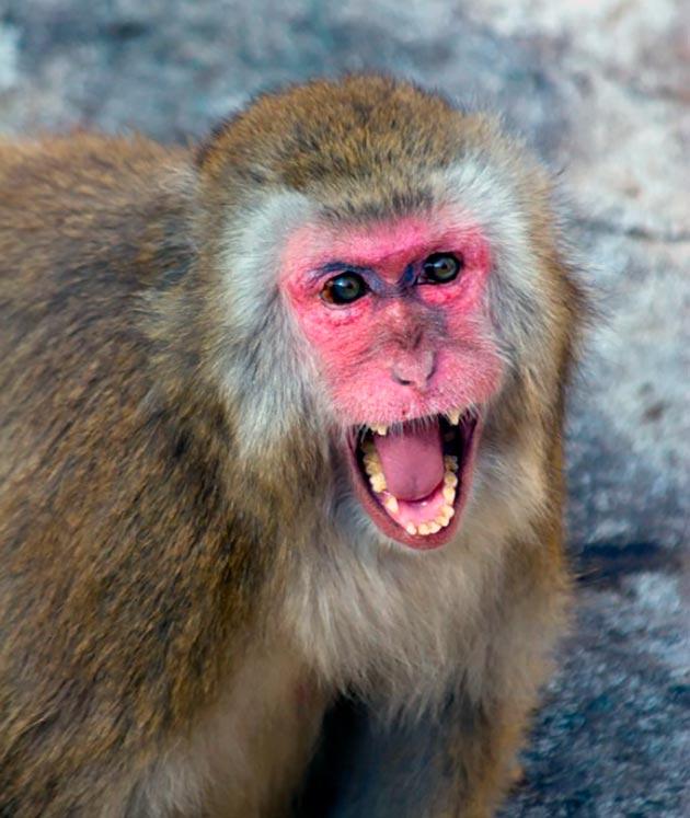 Японский макак издает звуковые сигналы или попросту кричит - при опасности, извещая других сородичей