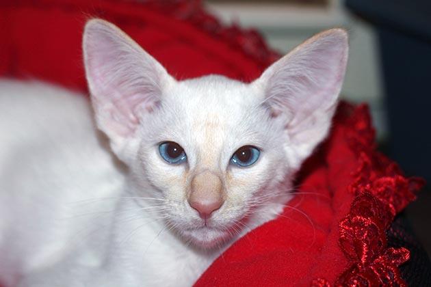 Породы кошек с голубыми глазами - Яванезы