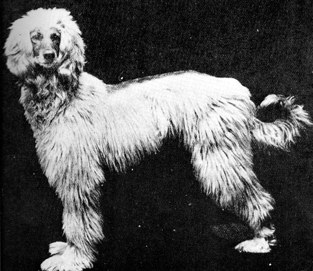 Породы собак: Афганская борзая