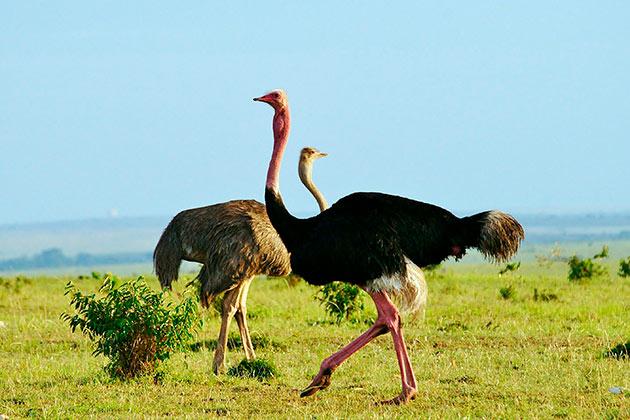 Африканские страусы предпочитают держаться в группах