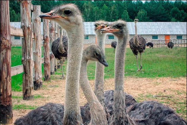 Сегодня одомашнивание страусов несет массовый характер и создаются целые страусиные фермы