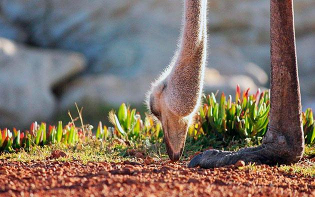 Основное рацион питания страуса — всякого рода растительность