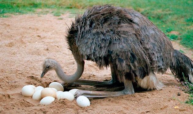 Африканский страус достигает полового созревания в возрасте 3 лет