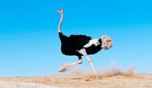 Африканский страус (Struthiо саmеlus)