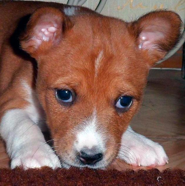 Бесенджи имеют ряд родовых пороков, поэтому рекомендуются периодически показываться ветеринару