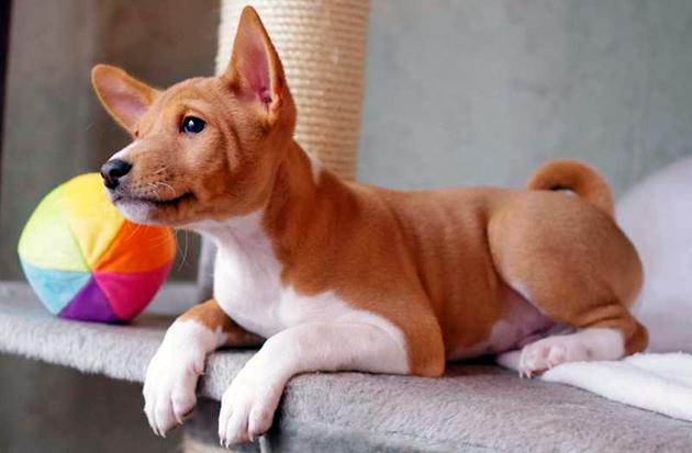 При покупке щенка басенджи нужно помнить, что они делятся на равнинных и лесных