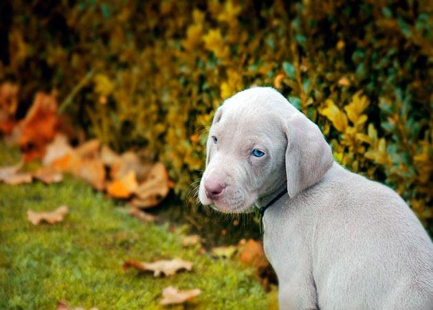 Порода веймаранер обладает рядом родовых пороков, поэтому необходимо периодически посещать ветеринарную клинику