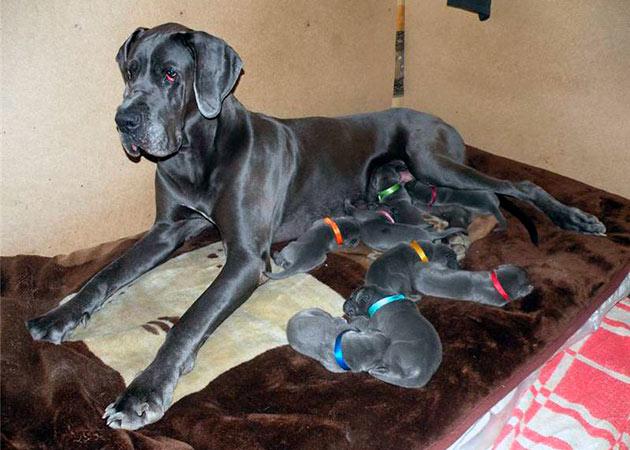 В квартире можно содержать и большие породы собак, но необходимо обеспечить им необходимую физическую активность