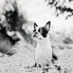 Породы собак: Бостон-терьер