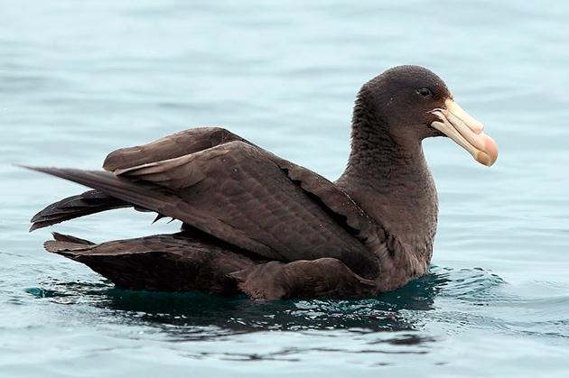 Места обитания буревестниковых напрямую зависят от подвида птицы