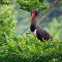 Черный аист (Cicоniа nigrа)