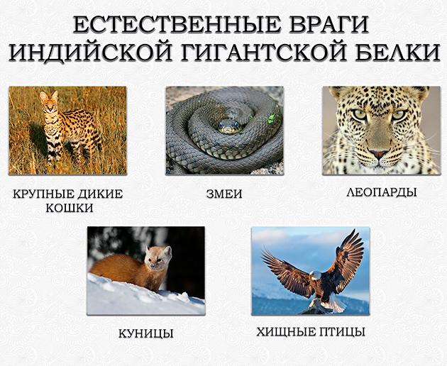 К основным врагам ратуфы относятся: леопарды, куницы, крупные дикие кошки, змеи, хищныептицы.