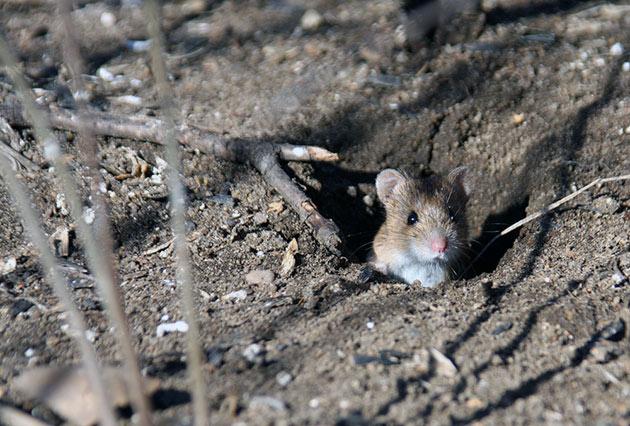 Иногда вред от полевых мышей бывает настолько велик, что им могут объявить войну