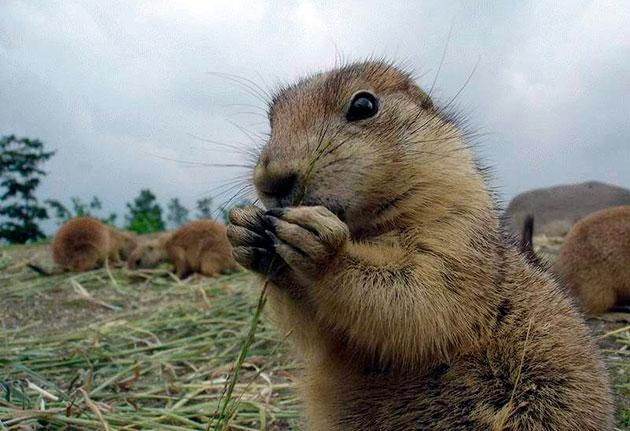 Основной рацион питания луговой собачки — зеленная трава