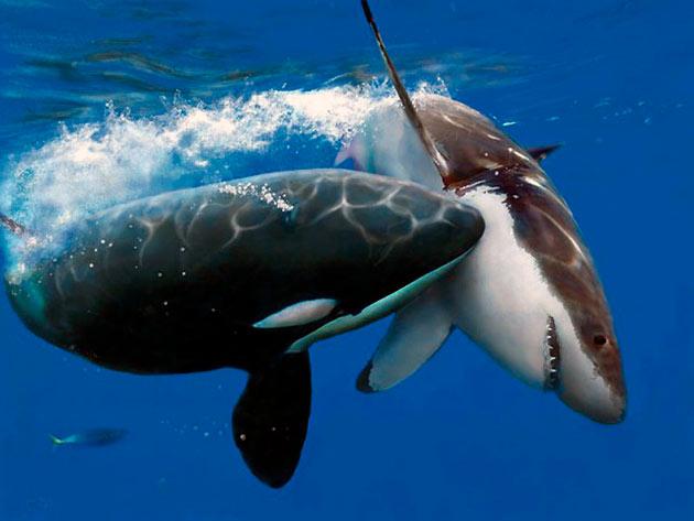 Большая косатка — вот кого из рода дельфиновых должны бояться акулы