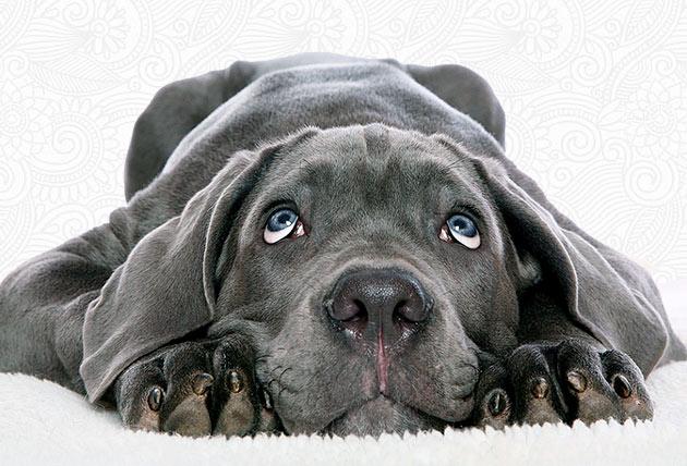 При покупке щенка веймаранера, определитесь для каких целый вы его приобретаете