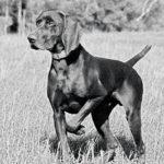 Породы собак: Курцхаар