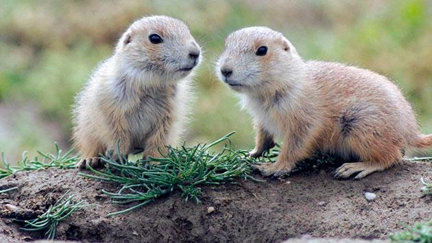 Самки луговых собачек рождают за один раз от 2-10 детёнышей