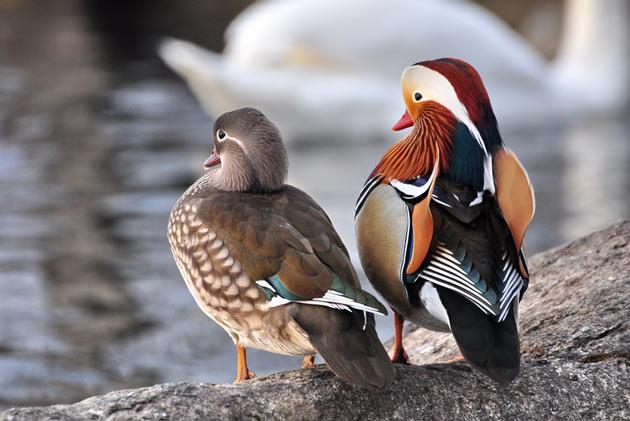 мандаринка — это самая красивая и яркая утка из всех существующих ныне