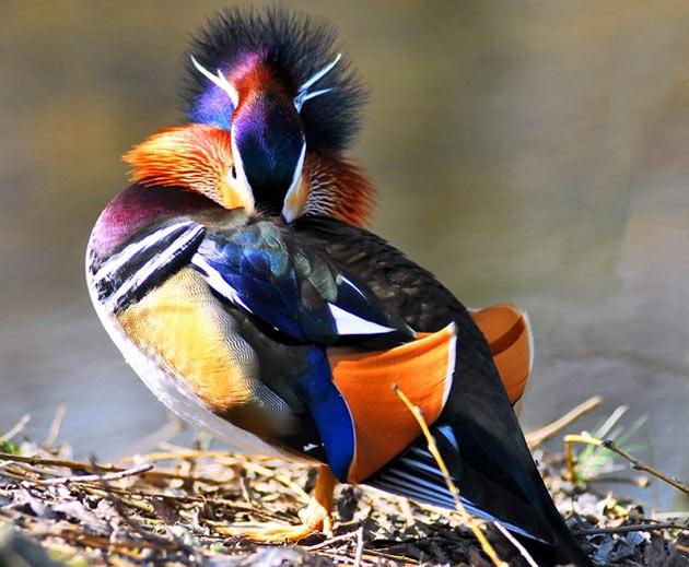 взрослые утки-мандаринки относительно просты в содержании, а также очень хорошо подойдут для размещения в видовых смешанных коллекциях