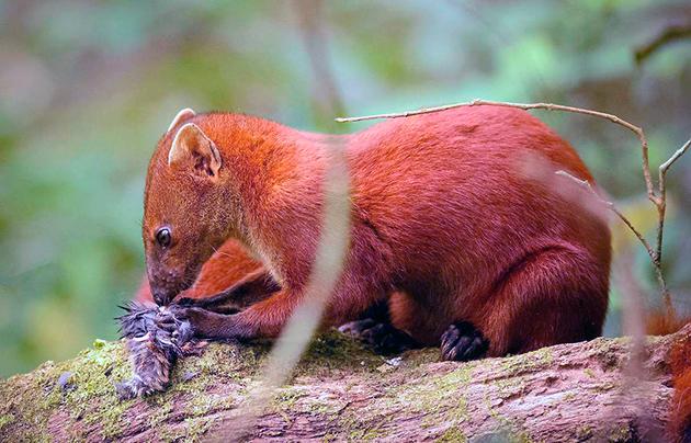 Мангусты относятся к всеядным животным