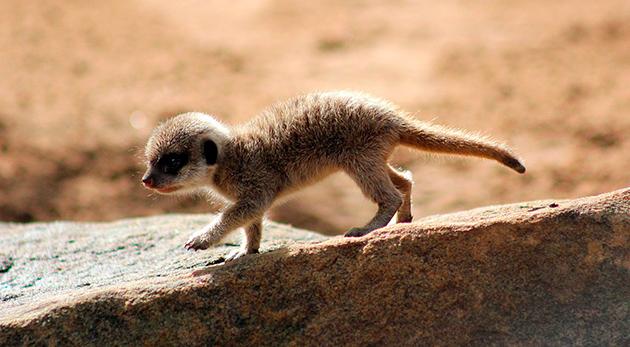 Самка мангуста рожает 2-3 абсолютно голых и слепых детеныша