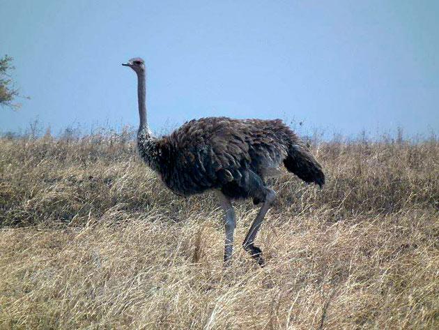 Масайский страус