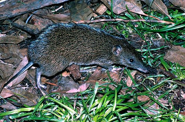 Основной ареал обитания бандикутов — Австралия