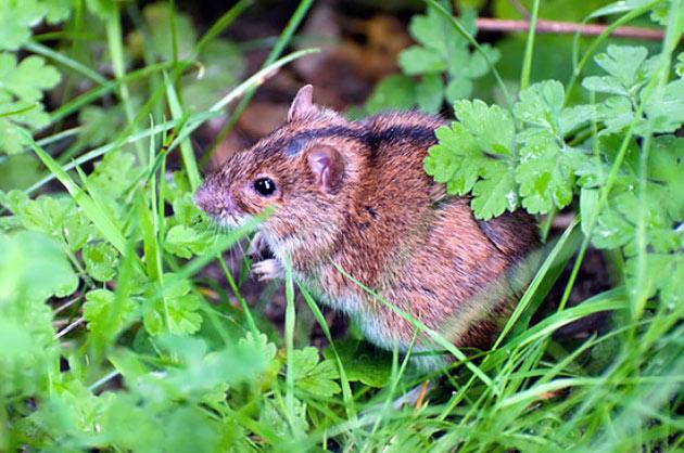 Полевую мышь можно встретить практически в каждом уголке мира