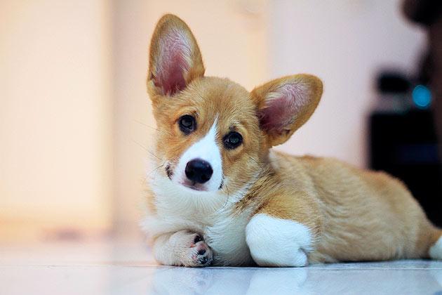 Небольшие породы собак, чаще всего покупают для содержания в квартире