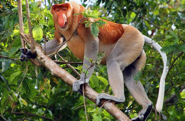 Острова Борнео — вот основное пристанище носатых обезьян