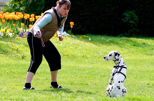 Если отсутствует опыт дрессировки собак, то лучше передать это дело профессионалам — кинологам