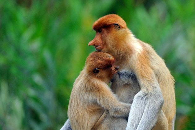 За последние десятилетия популяция обезьян носачей сильно сократилась из-за браконьерства