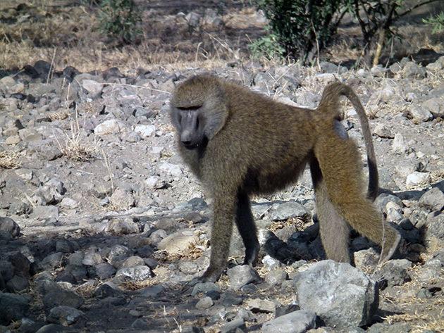 Павианы предпочитают жить в группе, что бы уменьшить риски нападения диких животных