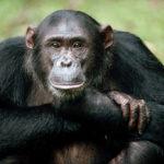 Обезьяна шимпанзе (лат. Pan)