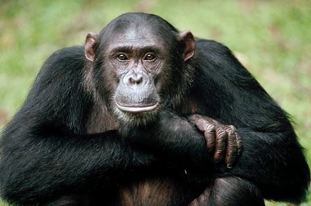 Обезьяна шимпанзе (Pan)